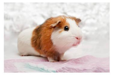 Jonda, the guinea pig by Denaru