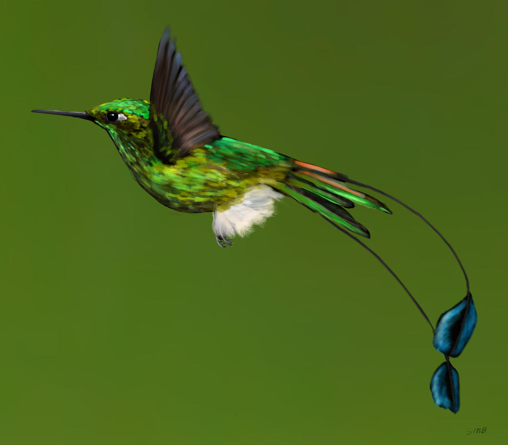 Booted Racket Tail Hummingbird By Great Skua On Deviantart