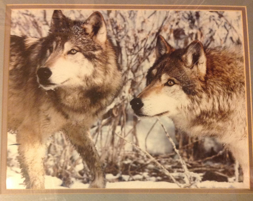 wolf animal swap meet 2014