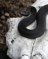 Snake and skull by ohlopkov