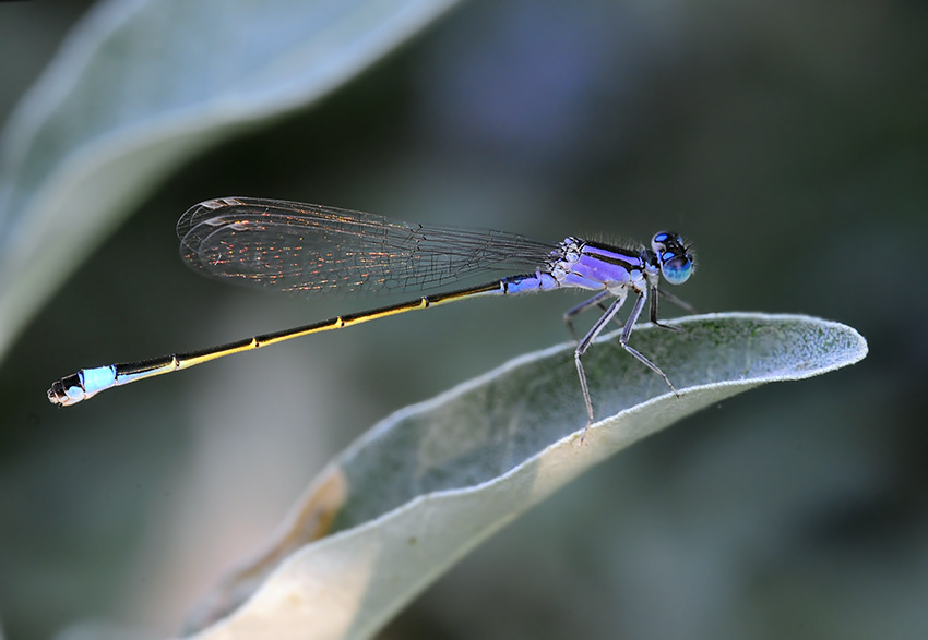 Ichnura elegans by ohlopkov