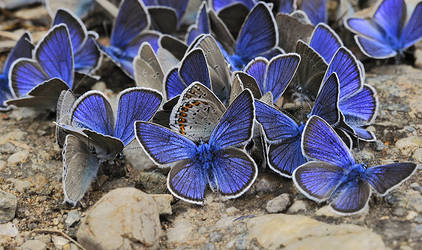 Throng of copper-butterfly