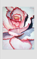 White-red rose watercolor By Eva CH