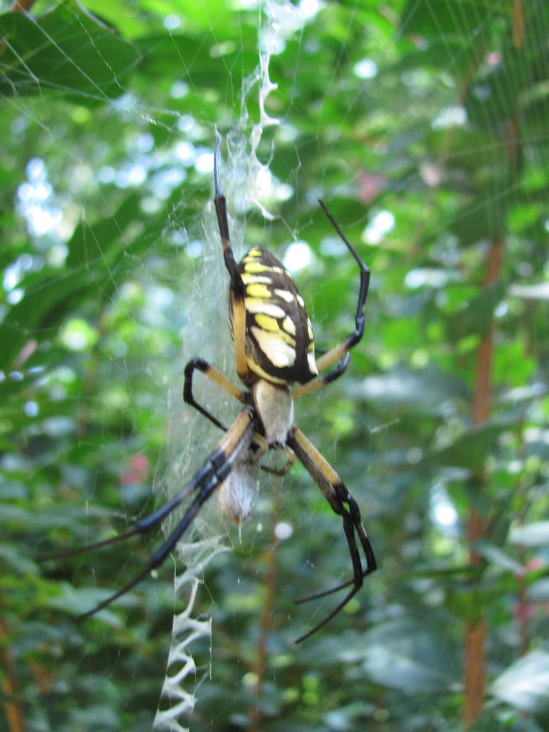 Pregnant garden spider by in the dark11 on deviantart for Gardening while pregnant