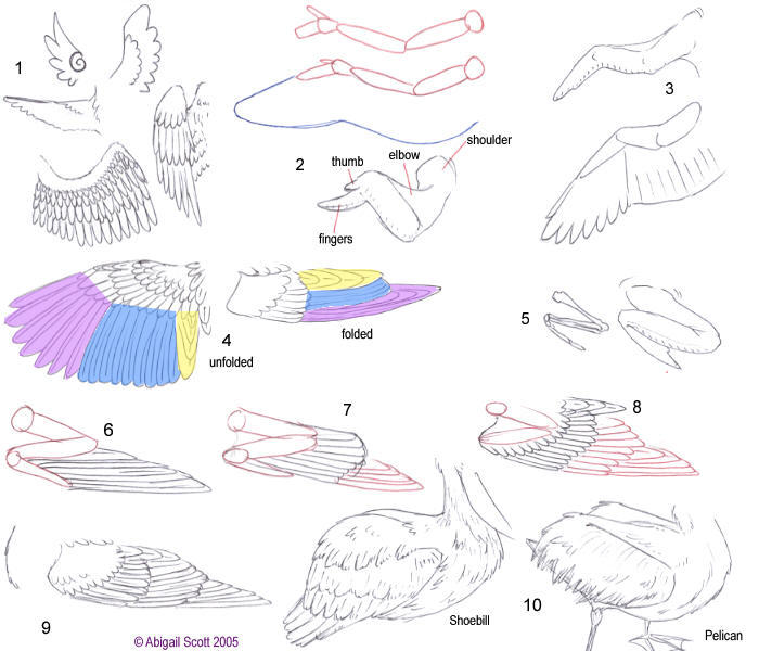 Bird Wing Anatomy - 2 - YouTube  Folded Bird Wings