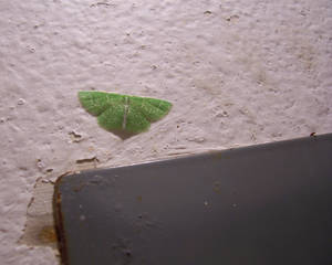Green Inchworm Moth