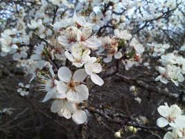 Wild Plum Blossoms by aquaviann