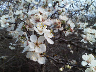 Wild Plum Blossoms