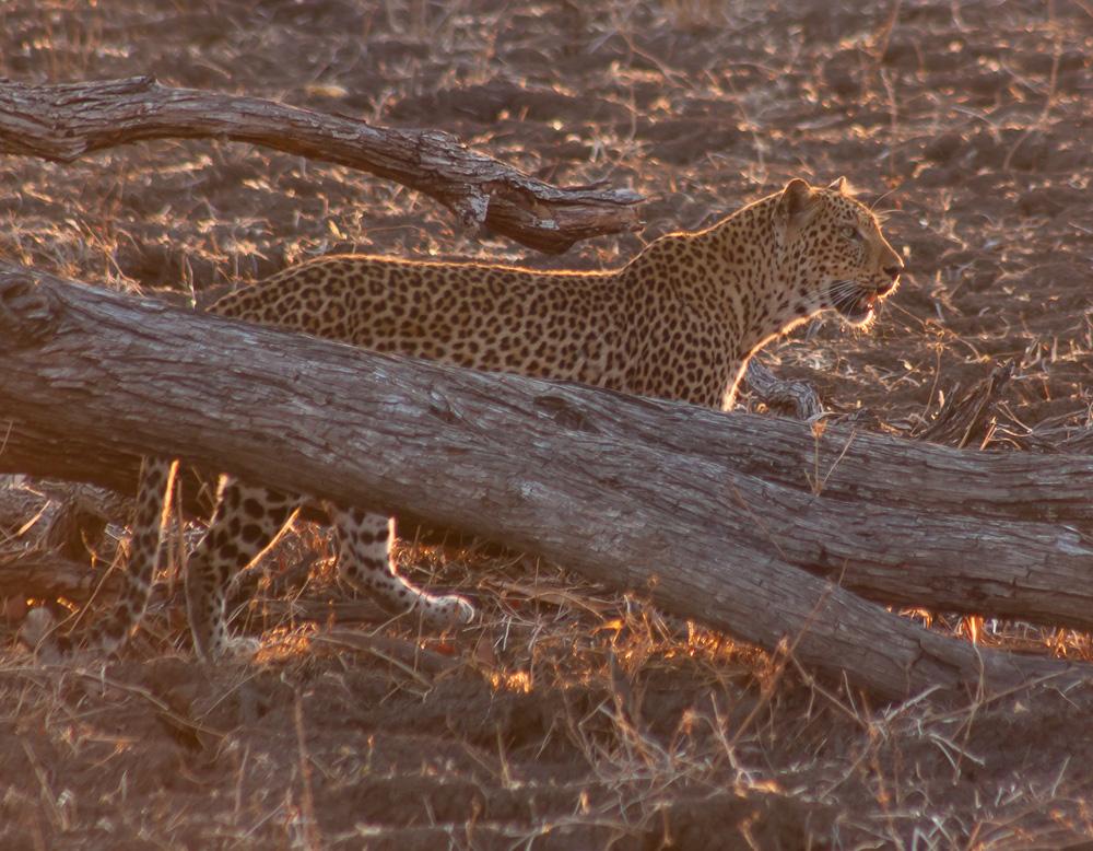 Leopard by ukwreckdiver