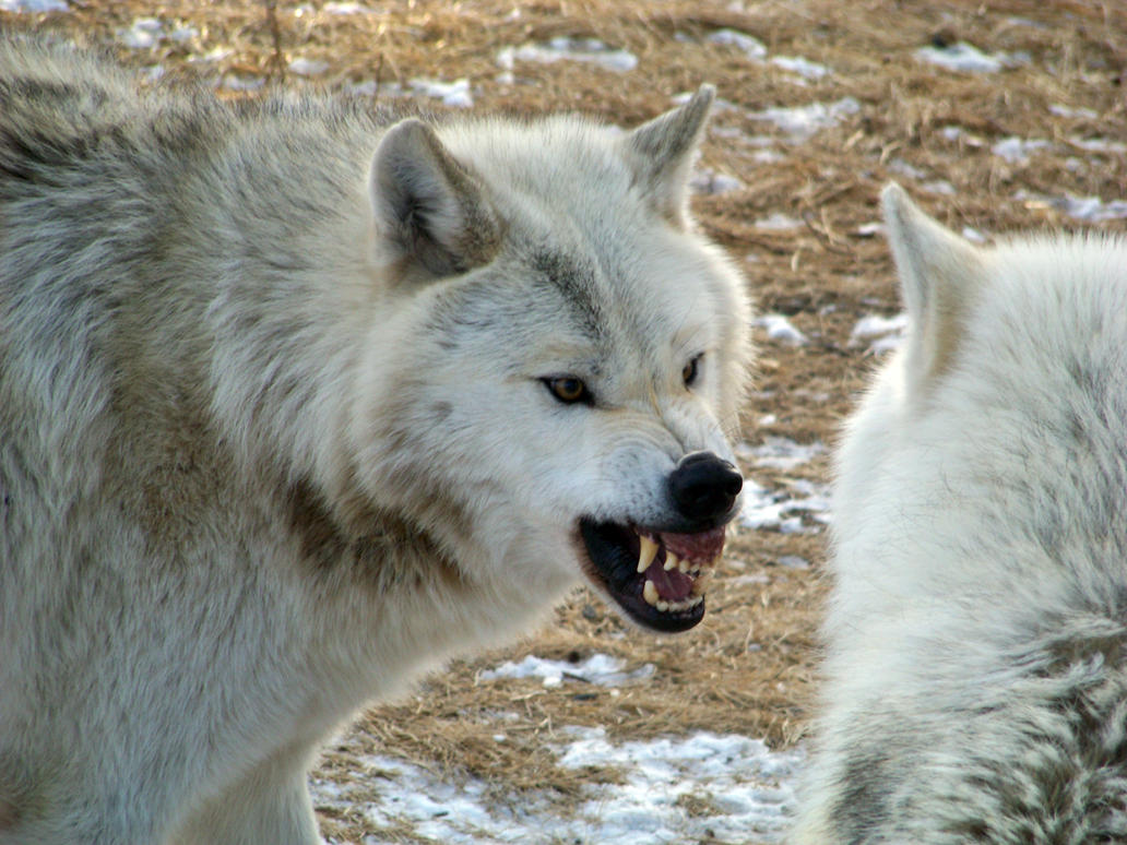 the grey wolf Wolves are the largest members of the dog family adaptable gray wolves are by far the most common and were once found all over the northern hemisphere.