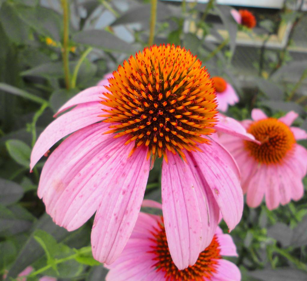 Purple Cone Flower by Loffy0