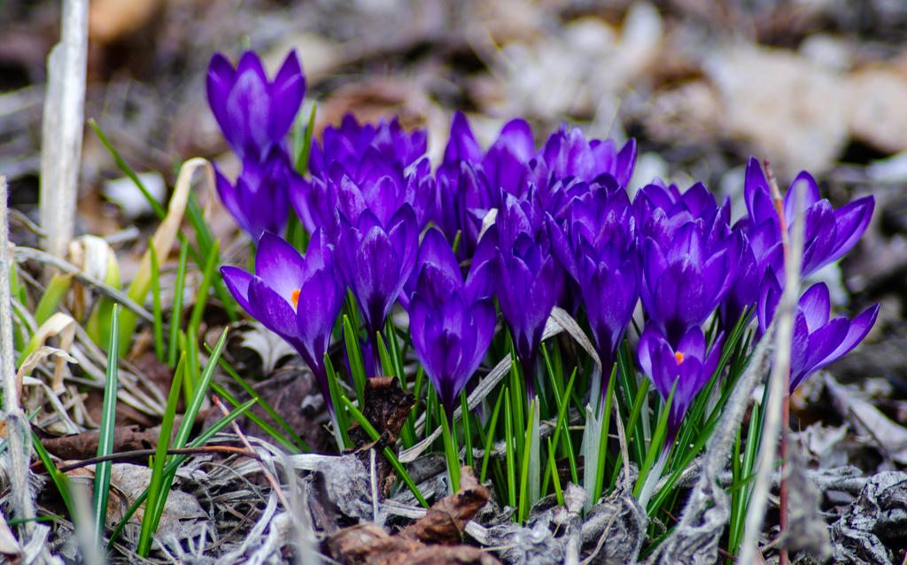 Purple Baptismal Crocus by Loffy0