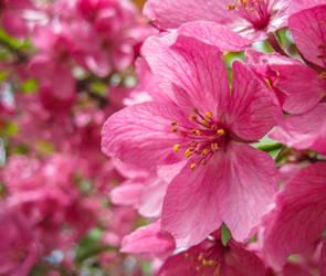 Magenta Blossom by Loffy0