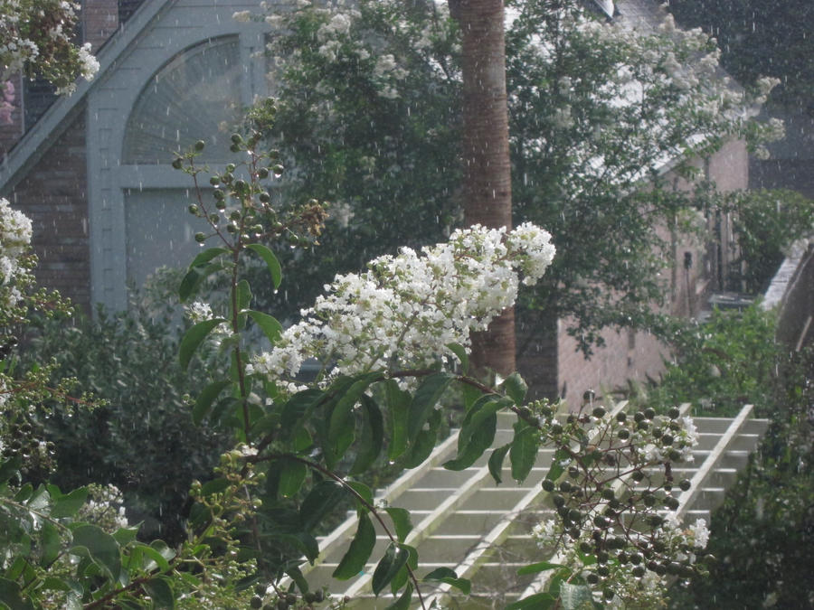 Crepe Myrtle in the Rain by Someguyfromcrowd