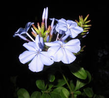 Blue Flower At Night