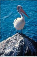 Pelican by aCreature