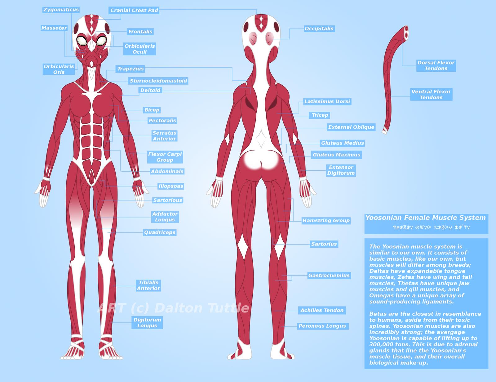 yoosonian muscular system (female) by doctoryoosonian on deviantart, Muscles