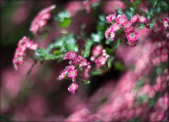 Crataegus Flower