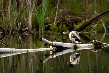 Swamp Duck