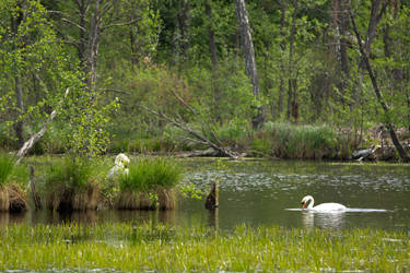Swans' Nest