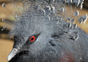 Victoria Pigeon by rileysun20