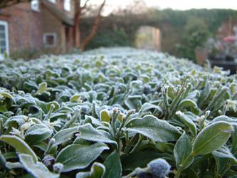 Sarcococca in Frost by fearoffours