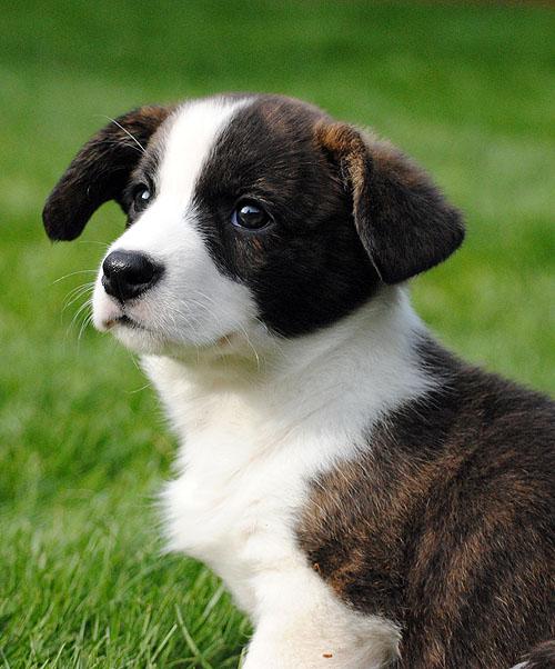 Cardigan Pup 41110Y by SilverblueCat