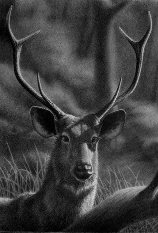 Curious Sambar, pencil by Panthera11