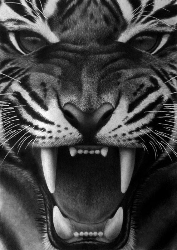 Fangs III, pencil by Panthera11
