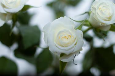 White romance by blackiris92