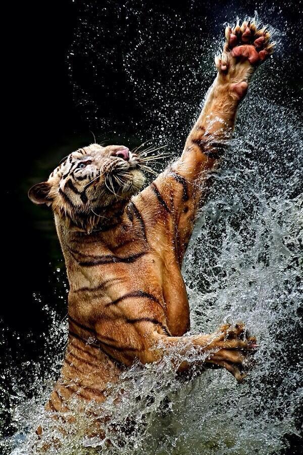 Bengal Tiger by saqopakajmer