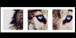 blue-eyed wolf. -f2u by kittiqui