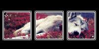 flower wolf. -f2u by kittiqui