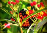 Monarch by Kiwi-chu