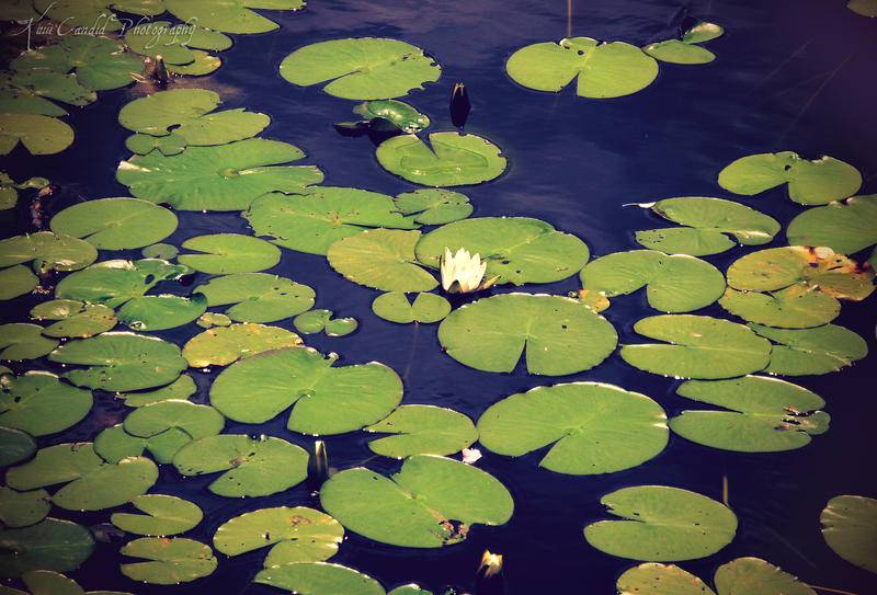 Lily Pond Gallery