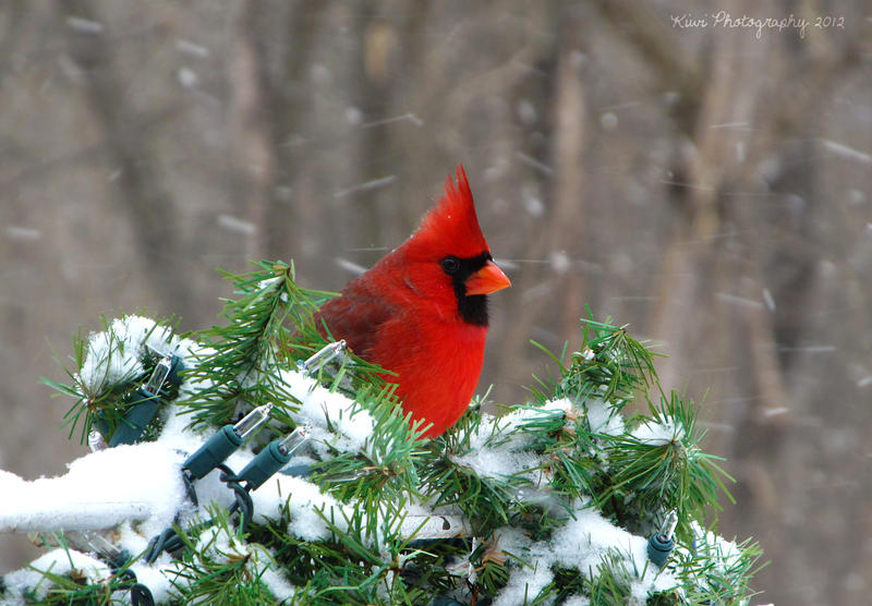 Cardinal by Kiwi-chu