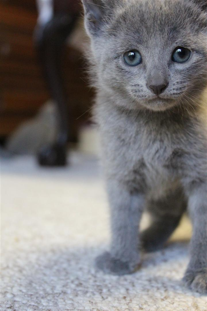 Russian Blue Kitten 01 by Faeriegem
