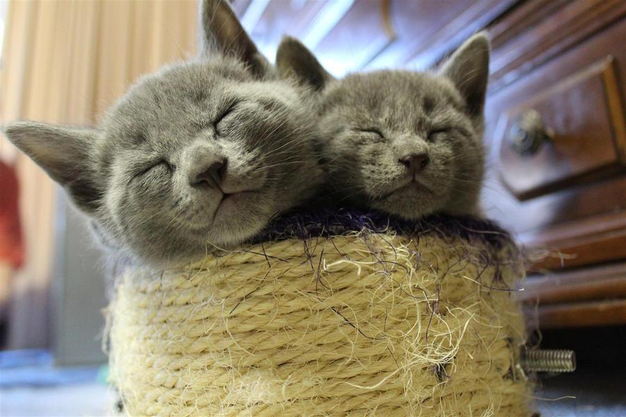 Risultati immagini per blue prussian cat