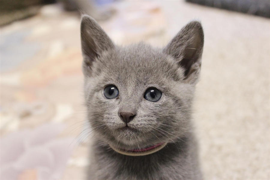 Click here to view Russian Blue Cats for adoption Shelters amp individuals can post animals free  RESCUE ME!