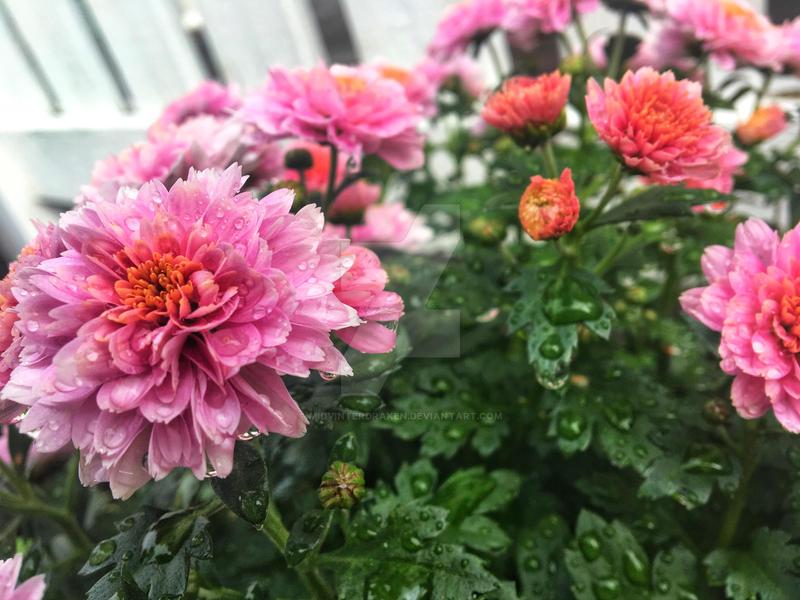 Beautiful blooms by midvinterdraken