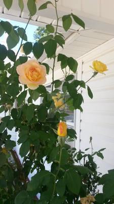Church Roses