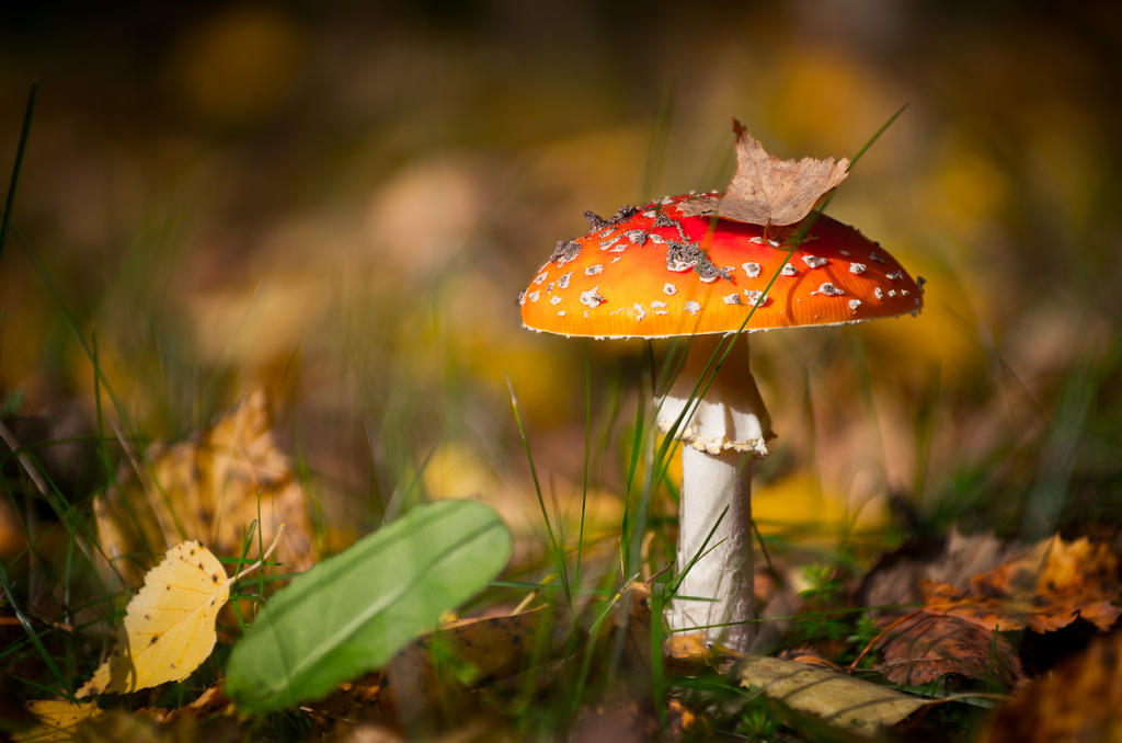 Amanita muscaria by sulevlange