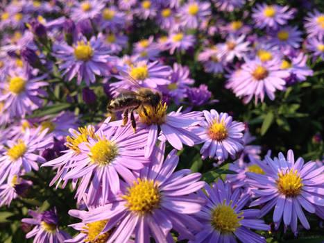 Bee Honey on Aster