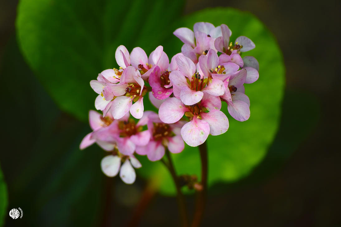 PINK FLOWERS by Crike99