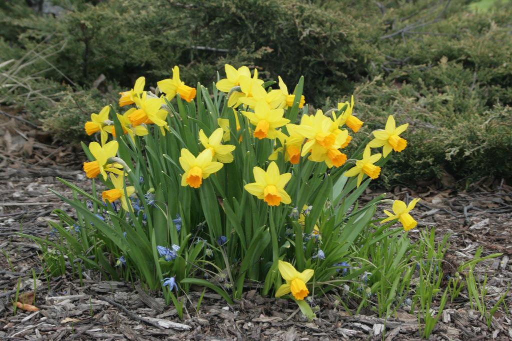 Yellow Daffodils Wallpaper Yellow Daffodils by sd Stock