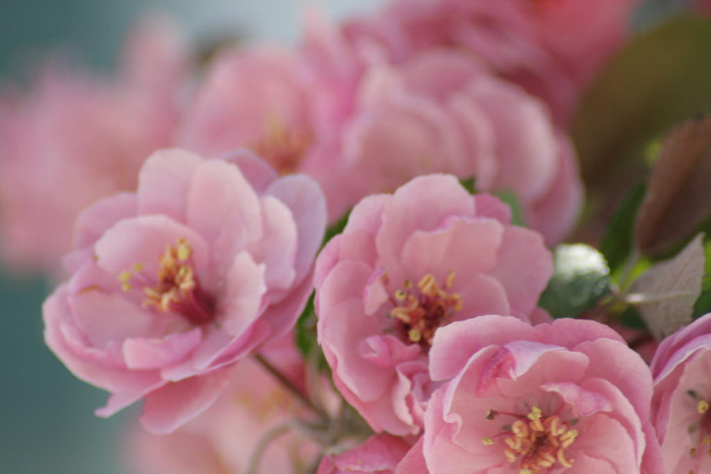 Pink Flowers 6 by sd-stock