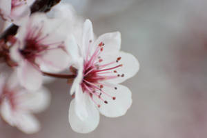 Cherry Blossoms 3 by sd-stock