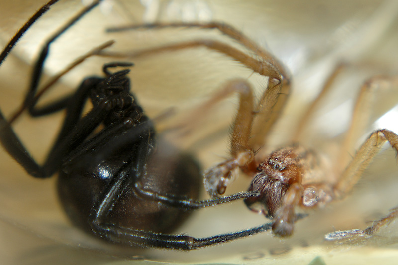 Camel spider vs black widow - photo#5