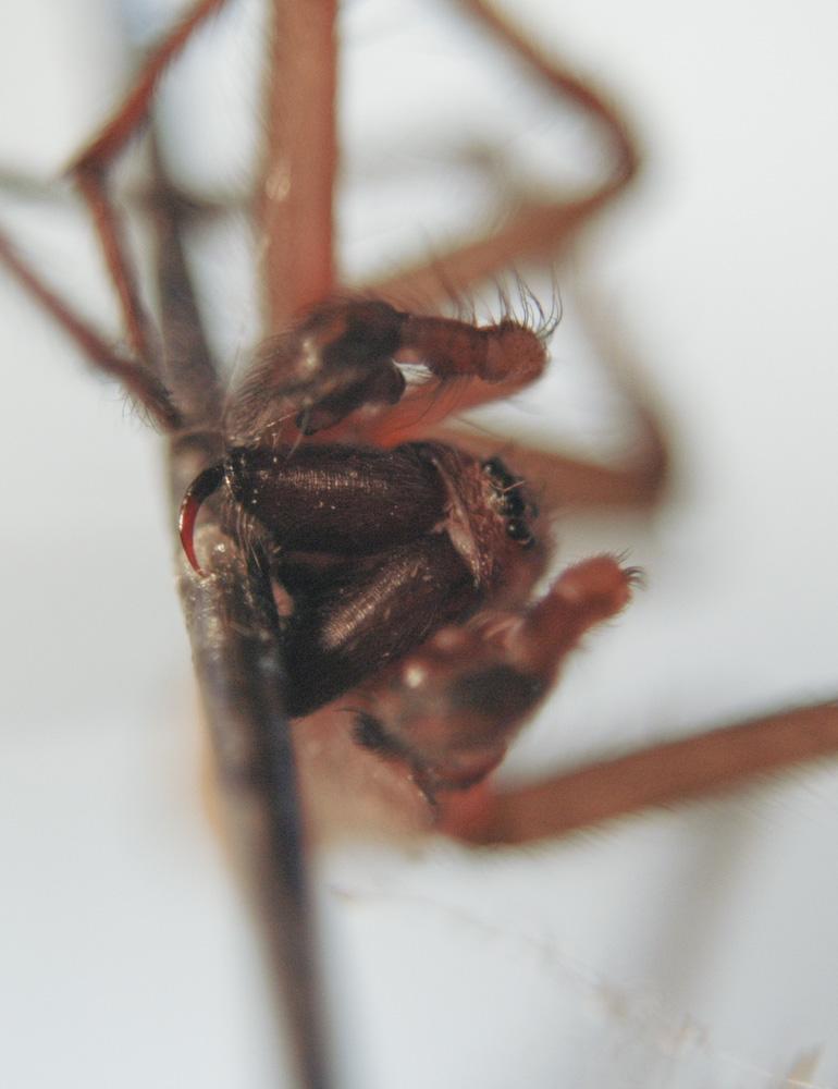 Hobo Spider Fangs