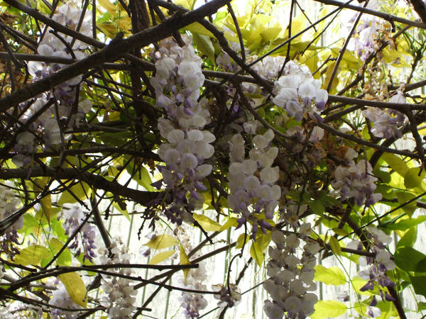 Wisteria at the zoo by ThePurpleConundrum